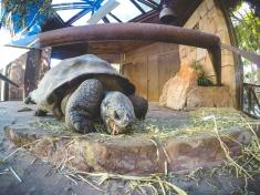 Tortoise enjoying his lunch.